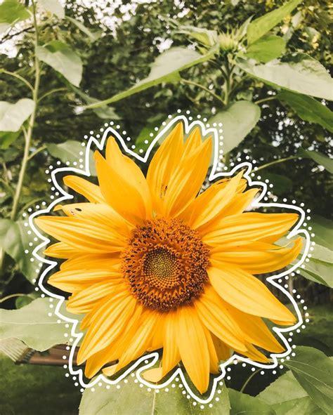 ygg sunflower wallpaper aesthetic