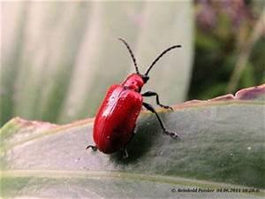 Käfer Im Garten : k fer im garten makrofotografie 6 news von ~ Lizthompson.info Haus und Dekorationen