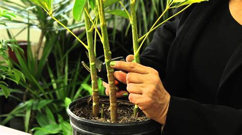 plant care how to prune a schefflera plant gardening plant care youtube