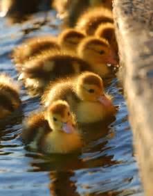 Cute Baby Ducklings Animals