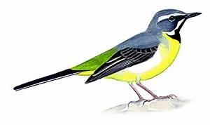 Oiseau Jaune Et Bleu : petit oiseau ventre jaune oiseau rouge et noir jett ~ Melissatoandfro.com Idées de Décoration