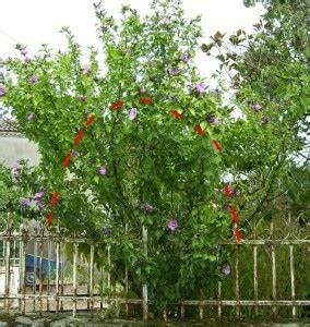 Taille De L Hibiscus : taille de l 39 alth a ou taille de l 39 hibiscus syriacus ~ Melissatoandfro.com Idées de Décoration