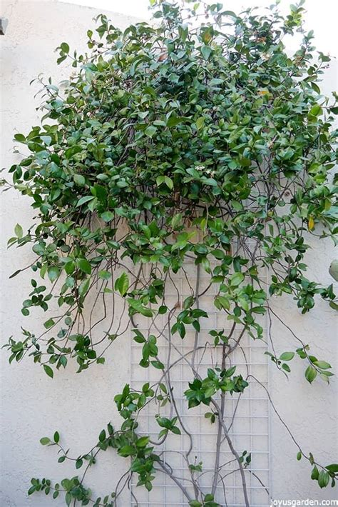 Pruning A Star Jasmine Vine When & How To Do It