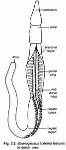 External Morphology Of Balanoglossus  With Diagram