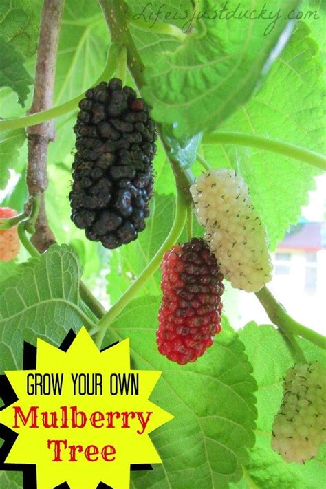 mulberry tree no fruit mulberry blueberry plant clipart clipground