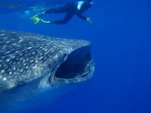 7 Fun Facts About Whale Sharks