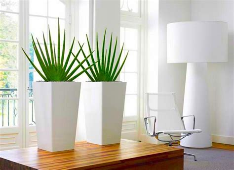 contemporary indoor plants pair of large sansevieria cylindrica fans contemporary indoor plants