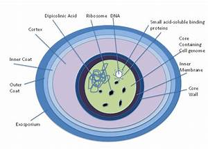 Difference Between Bacterial Endospores And Fungal Spores