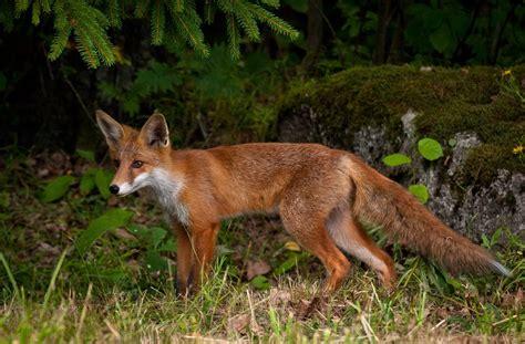 Wildtiere Im Garten  Fuchs Im Garten  Franks Kleiner