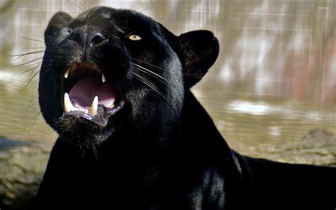 Pantera Animal Wallpaper - roaring black panther wallpaper animal wallpapers 47284