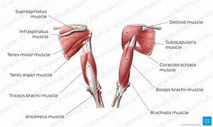Diagram    Pictures  Muscles Of The Arm And The Shoulder