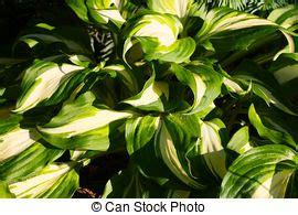 pflanze große blätter begonie pflanze bl 228 tter spirale https en org wiki begonia nautilus blatt form