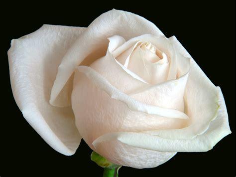 Bildecke.de >> HDR Fotos >> Weisse Rose HDR Fusion