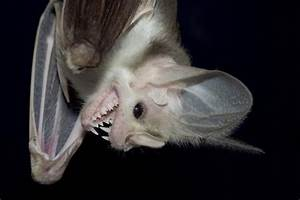 This is the ghost bat (macroderma gigas) from Australia ...