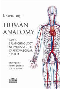 Human Anatomy  Part 2  Splanchnology  Nervous System