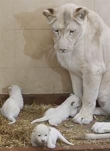 White Lion babies   Animal Kingdom   Pinterest