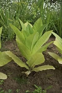 File:Plant nicotiana tabacum.jpg - Wikimedia Commons