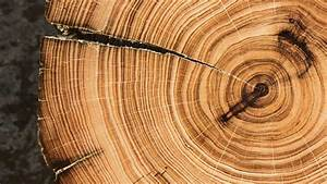 Ancient Sentinels And The Secrets Locked Away In Their Tree-rings