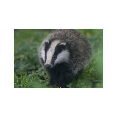 European BadgerFlickr - Photo Sharing!