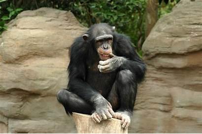 Monkey 100th Harris Capturing Critical Achieving Mass