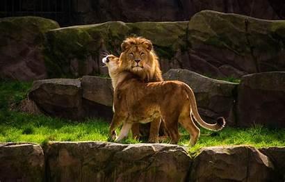 Leo Lion Female Rocks Male Lioness Weasel