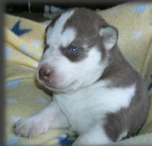 Young brown siberian husky puppies with cute blue eyes.PNG