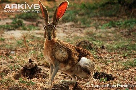 The Tehuantepec Jackrabbit Is The Most Endangered Hare