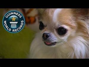 Smallest Dog In The World Guinness Book Of Records