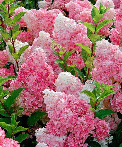 hortensien mit essig gießen passende hortensien pflege f 252 r wesentlich mehr bl 252 ten