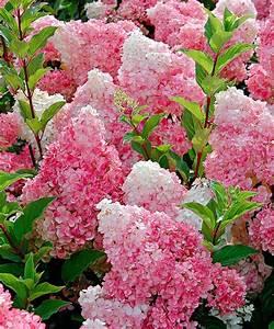 Welche Erde Für Hortensien : passende hortensien pflege f r wesentlich mehr bl ten ~ Eleganceandgraceweddings.com Haus und Dekorationen