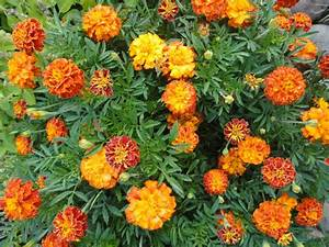 Sparky French Mix Marigold Seeds