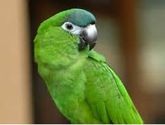 Types Of Green Parrots