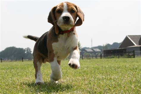 Beagle Wallpaper That Is Animated