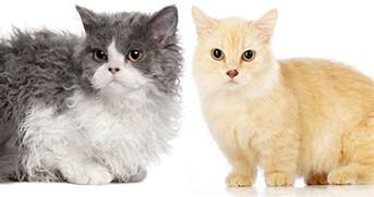 the cat site lambkin cat a guide to lambkin cats and kittens the