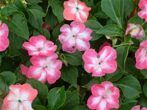 impatiens flower picture flowers for flower lovers impatiens flowers