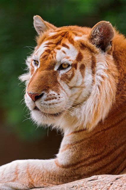 Profile The Golden Tiger Animal Kingdom Animals