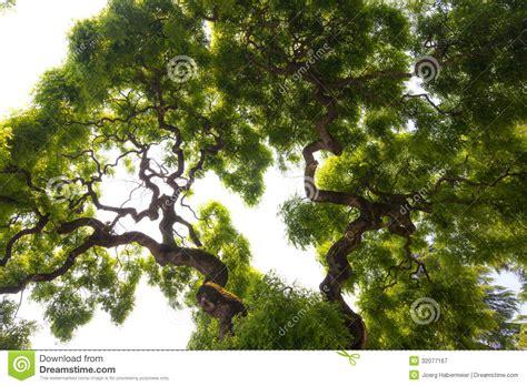 impressive green crown  tall large elm tree