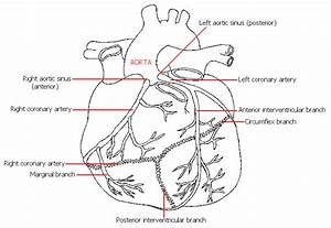 Arterial Supply To The Heart
