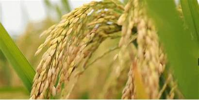 Rice Hybrid Yield Record Hectare Per Breaks
