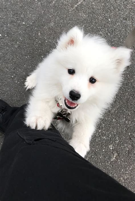 Samoyed Puppy 12 Weeks Lovely Sidcup Kent Pets4homes