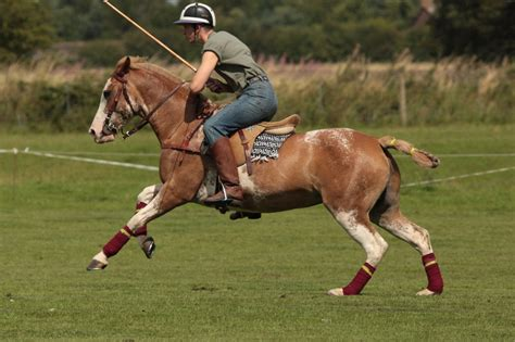 polo ponies broodmare mares fatima chamfronstud goal band low medium dam