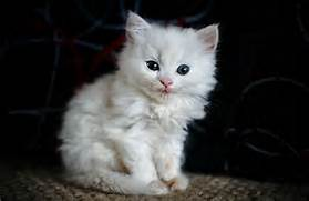 tiny  white kitten with blue eyes staring towards the camera   White Baby Cat With Blue Eyes
