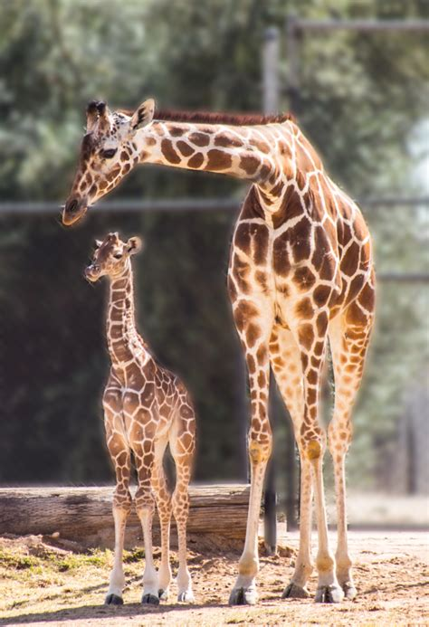 austin  newborn giraffe wildlife world