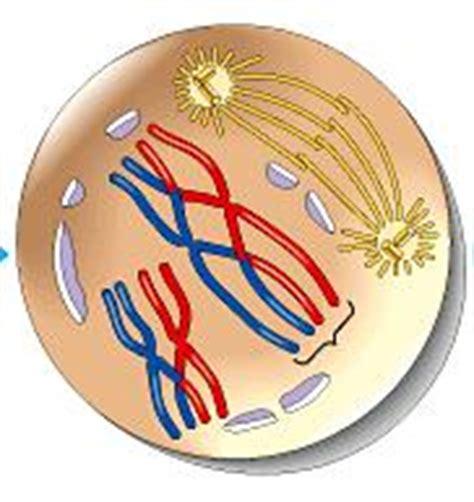 quia meiosis illustration identification