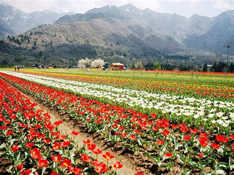 see asia s largest tulip asia s largest tulip garden situated on the banks of dal