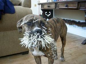 The Prickly Problem With Porcupine Attacks on Dogs - Petful