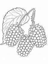 Coloring Blackberry Pages Berries Printable Fruits Blackberries Frutas Draw Crafts Verduras Nature Strawberry Doodle Flowers sketch template
