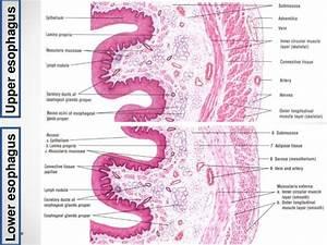 Digestive System Histology Ppt