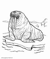 Pages Sea Animals Coloring Walrus Printable Ocean Walruses Colouring Thick sketch template