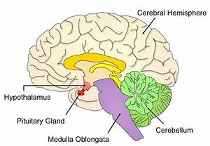 Hypothalamus Diagram